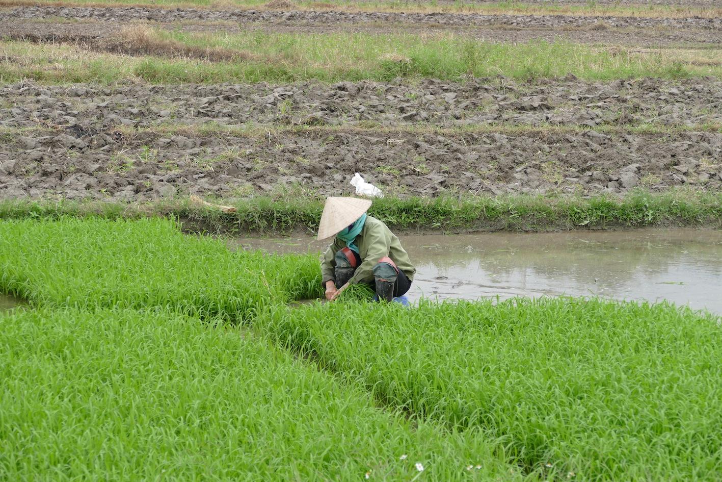 hoe groeit rijst